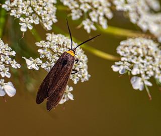 Cisseps fulvicollis