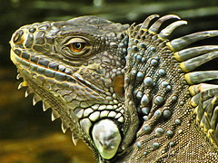 ! Fred The Iguana2_DAP_2X_Glamour(Ultra_Detail)
