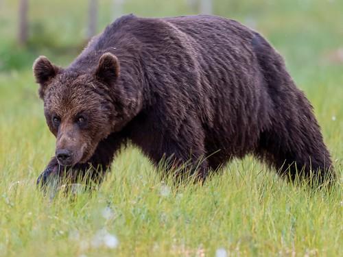 Shifty Bear 🐻