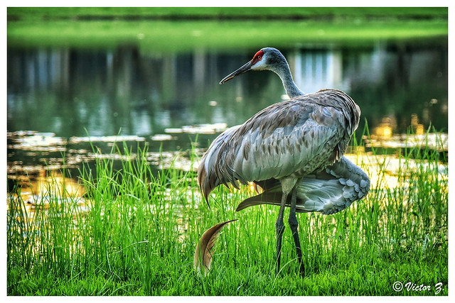 Sandhill Crane Heathrow Lake Mary Florida -38