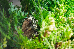 House Finch Fledge