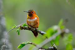 Rufous Male - Spring