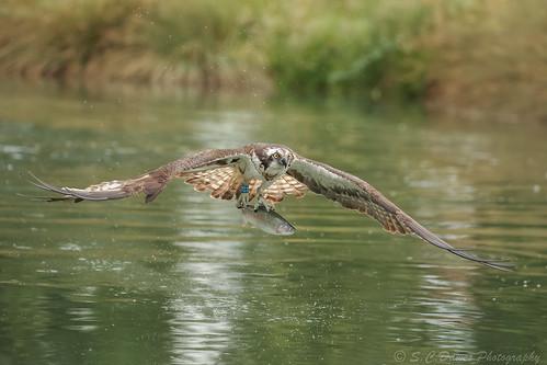 Osprey ( Pandion haliaetus )