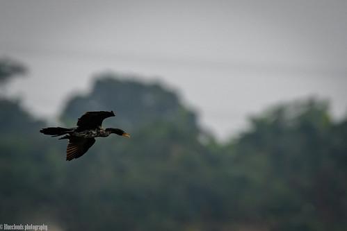 long tailed comorant unilag birds lagos nigeria nikon d850 200500 f56