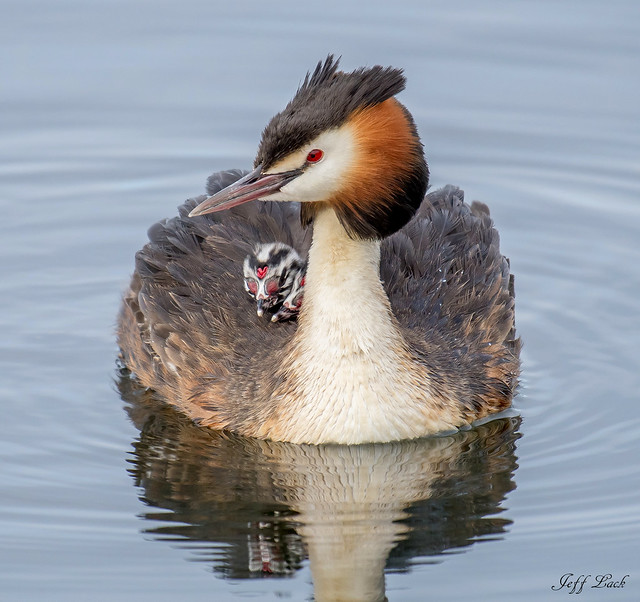 DSC5587  Great Crested Grebe...