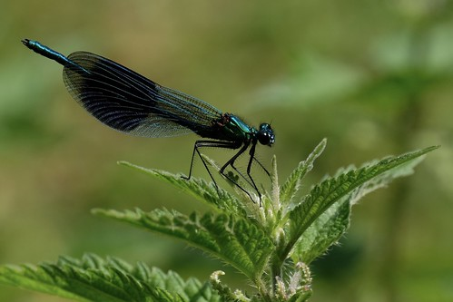 Banded Demoiselle (male).