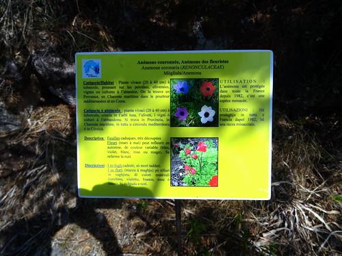 Panneaux botaniques : Anémone couronnée