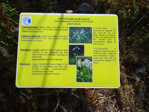 Panneaux botaniques : Ail