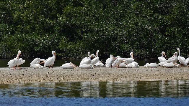 Flock Of American White Pelicans On Sandbar (Pelecanus erythrorhynchos)