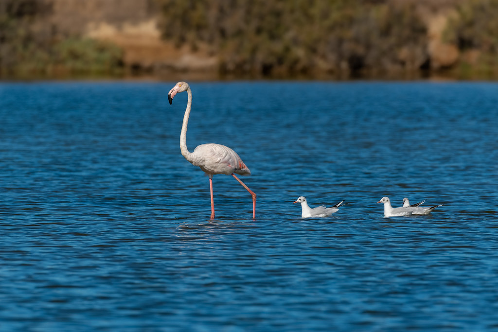 Wrong Mother? (Greater Flamingo - Phoenicopterus roseus)