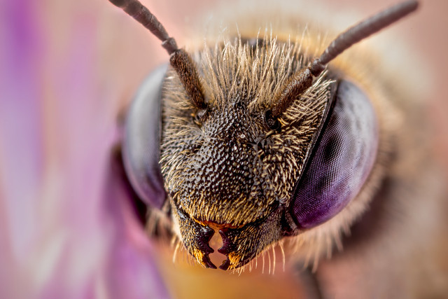Mason Bee (Osmia SP)