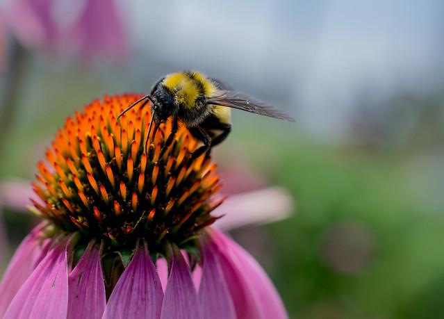 Bumblebee on a Echinacea Hybrid