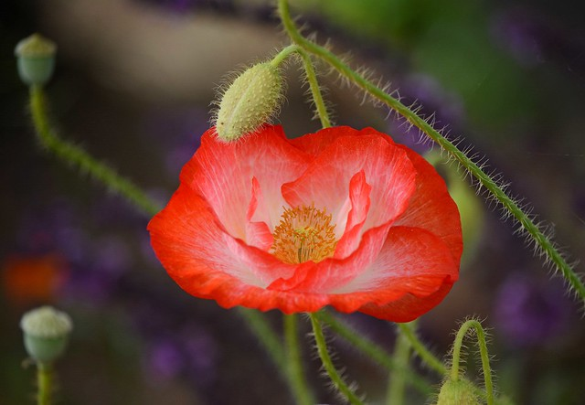I survived, carried on, glad to be like a weed, a wild red poppy, rooted in life. ~~Marilyn Buck