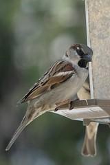 House Sparrow (Canada)