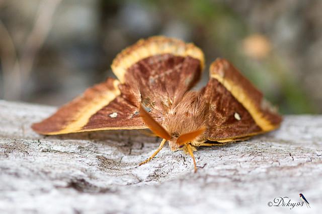 Bombyx du chêne ♂, bombyx du genêt ou minime à bandes jaunes (Lasiocampa quercus)