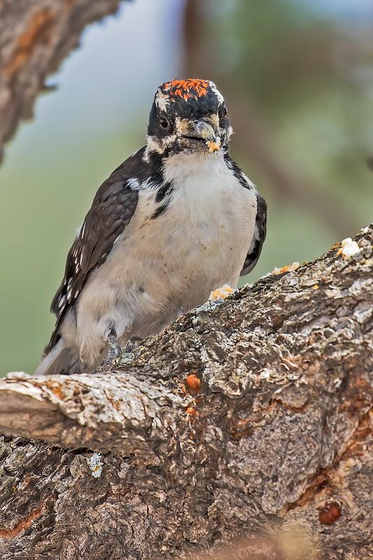 Hairy-Woodpecker-18-7D2-072119