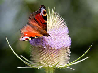 Peacock on Teasel