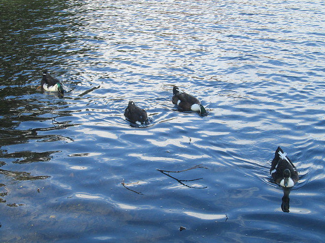 Ducks, Beveridge Park Pond, Kirkcaldy
