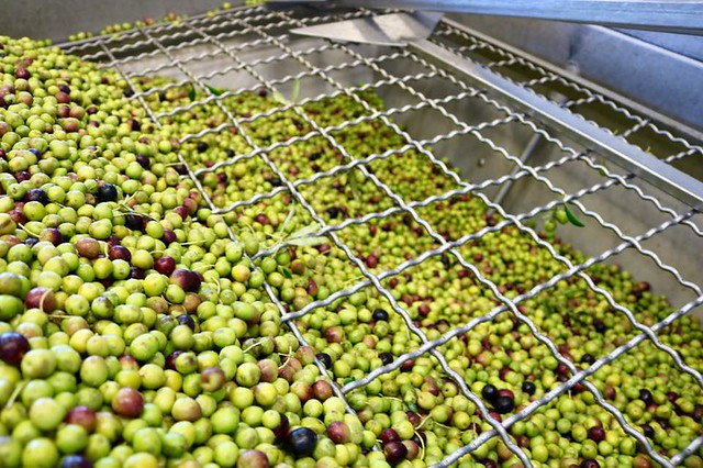 Olive Oil Production at Seka Hills