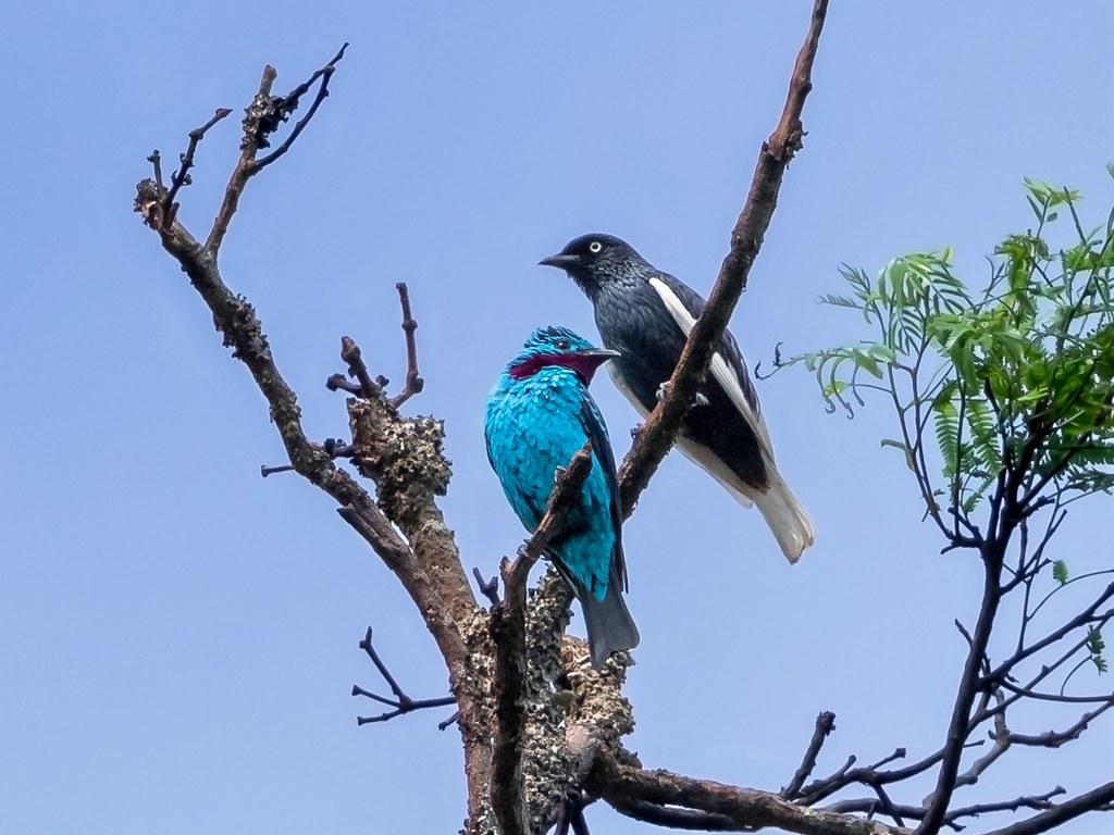 Spangled Cotinga/Anambé-azul (Cotiga cayana) male & White-tailed Cotinga/Anambé-de-rabo-branco (Xipholena lamellipennis) male