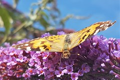 Painted Lady - Buddleia Blossom