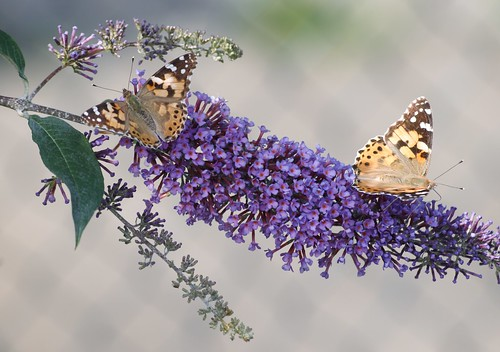 Pair of Painted Lady Butterflies on Buddleia Bush | by Gilli8888