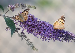 Pair of Painted Lady Butterflies on Buddleia Bush