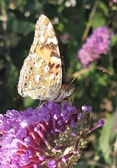 Painted Lady - Closed Wings Lamesley