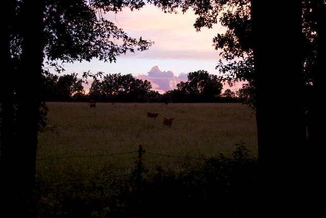 Sunset with Oddly Attentive Cows