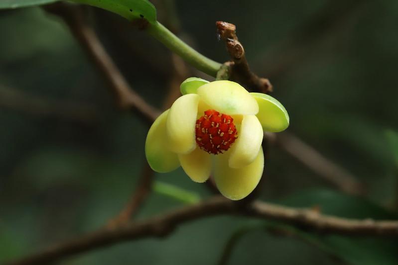 Kadsura japonica  サネカズラ (雄花)