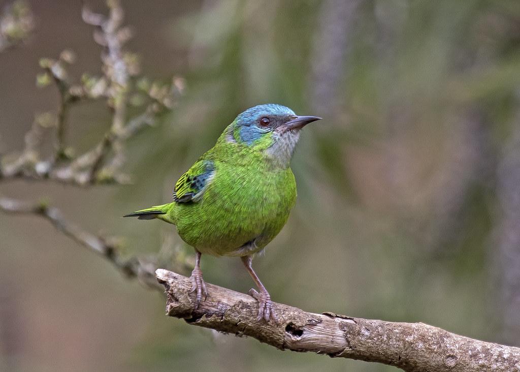 sai-azul-femea (Dacnis cayana) (Linnaeus, 1766) Nome em Inglês Blue Dacnis