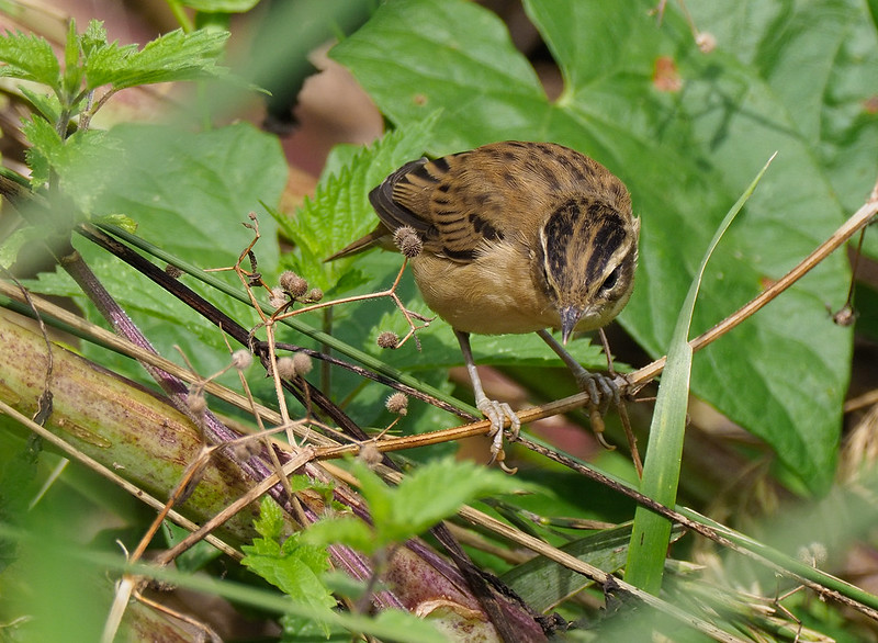 Sedge Warbler - adult feeding young