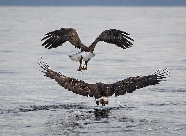 Bald Eagle - Feeding Frenzy