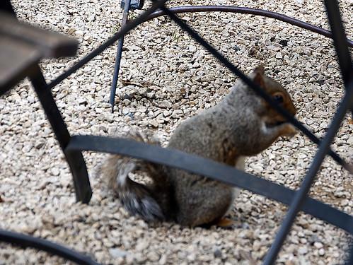 Squirrel grazing