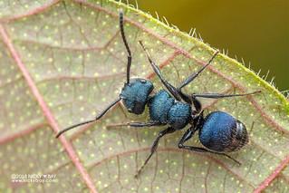 Blue ant (cf. Echinopla striata) - DSC_6260