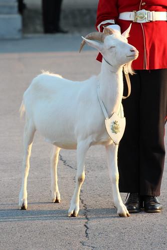 david davidthegoat davidxii david12 stdavidsocietyoftoronto sunsetceremony forthenry fhg forthenryguard kingston kingstonontario ontario goat fort mascot