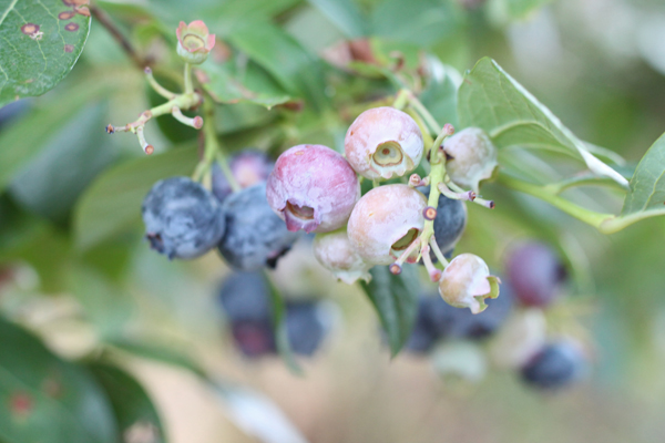 blueberries rochester ny