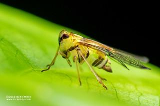Net-winged planthopper (Tropiduchidae) - DSC_6288