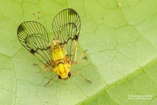 Net-winged planthopper (Tropiduchidae) - DSC_6285