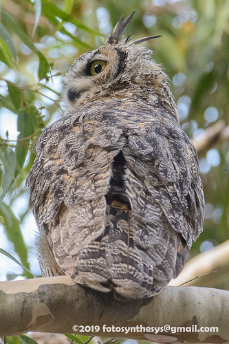 California Great Horned Owl (Bubo virginianus pacificus), adult DSD_9268