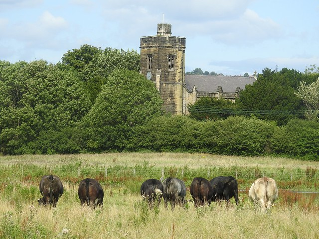 Line Up of Lamesley Meadow Cows