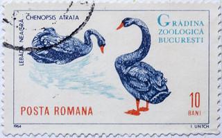 Roumania Bucharest Zoological Gardens Lebada Neagra Chenopsis Atrata