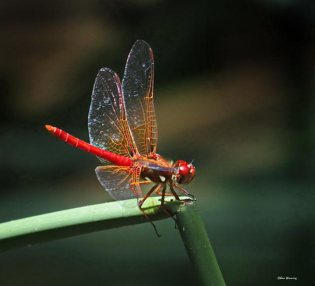 Can Dragonflies Hear 1627