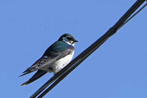 Golondrina Verde-Violeta, Violet-green Swallow (Tachycineta thalassina)