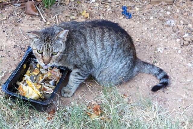 Streunende Katze isst Reste aus einem schwarzen Plastikbehälter am Straßenrand der Insel Spetses, Griechenland