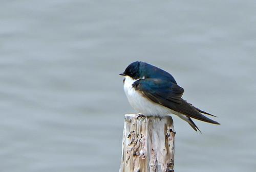 Golondrina Bicolor, Tree Swallow (Tachycineta bicolor)