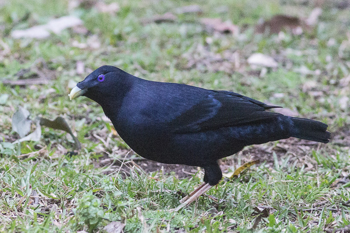 Satin Bowerbird - male