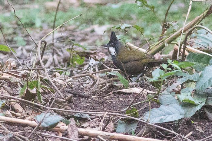 Eastern Whipbird - adult