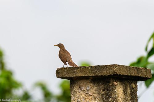 thrush african lagos unilag nikon d850 200500 f56 nigeria birds