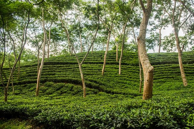 Tea Gardens in Bangladesh